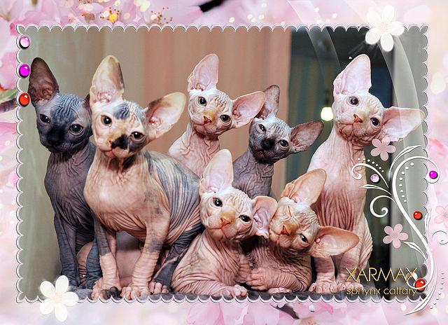 Открытки с днем рождения с кошками сфинксами