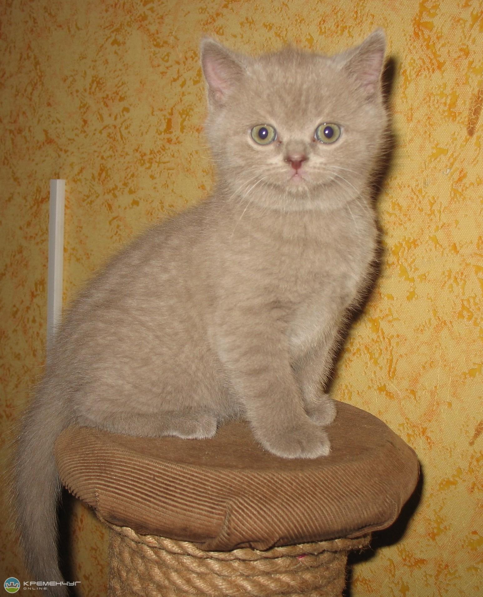 британского фото котенка окрасу