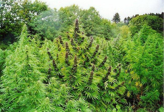 Can marijuana treat mental disorders
