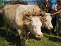 Волы на «Сорочинской ярмарке» привыкают к людям (фото)