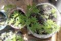 Кременчужанин выращивал на балконе около 200 кустов конопли