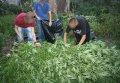 В Кременчуге обнаружили незаконный посев конопли